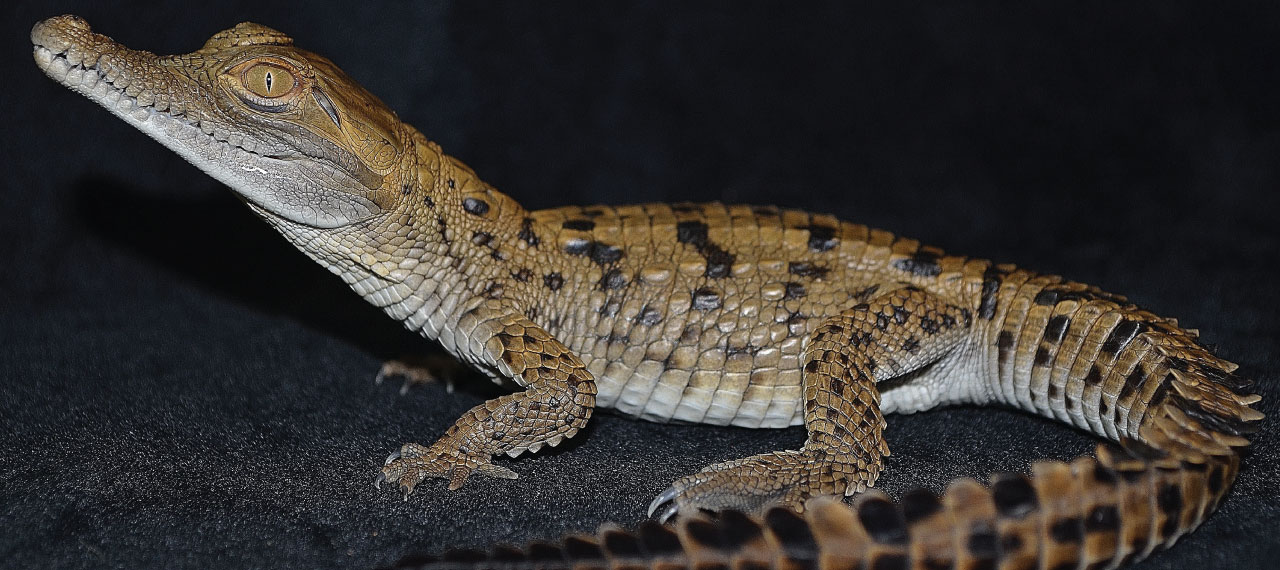 Critically Endangered Orinoco Crocodile Hatches at Gladys Porter Zoo