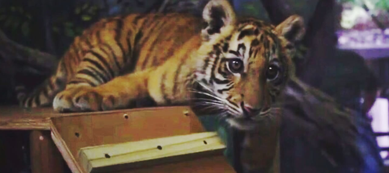 Tiger Cub Moved to Small World Nursery